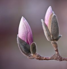 :) Saucer Magnolia