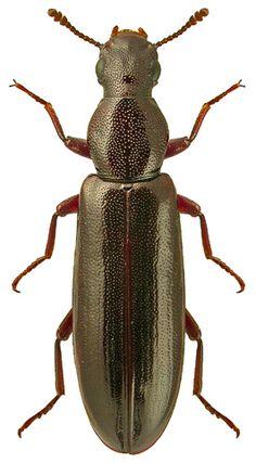 Boridae - Pesquisa Google