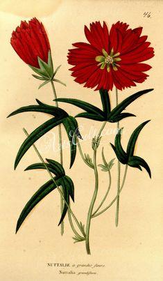 nuttalia grandiflora      ...
