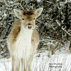 Photograph of a young deer in the snow, by Jane Mucklow. Available as a greetings card and print. Business Headshots, Flower Prints, Kangaroo, Deer, Greeting Cards, Snow, Park, Photography, Animals