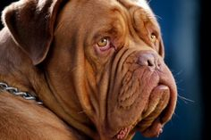 Can I have one... Dog de bordeaux ( French Mastiff)