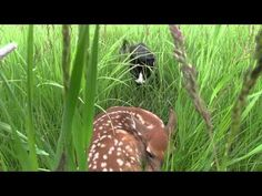 The Cat and the Fawn - YouTube