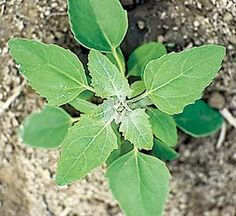 Lamb's Quarters, Chenopodium album, is a wild green that contains more calcium than any other plant studied, according to botanist and author John Kallas. It's also high in protein, vitamin A and vitamin C. The leaves taste excellent raw or cooked. Healing Herbs, Medicinal Plants, Edible Wild Plants, Wild Edibles, Growing Herbs, Edible Garden, Edible Flowers, Organic Gardening, Weed