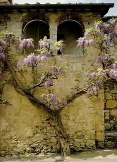 "Incomparable ""glicine"" (wisteria) in an ancient village in Chianti"