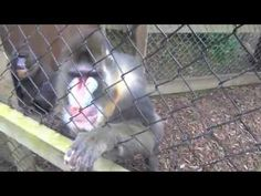 Zoo Keeper For The Day Experience - Sceme C - Mandrill Training