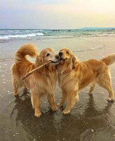 Just take a moment to enjoy these sweet golden retrievers sharing a stick on the beach. And pass it on if you smile :) Just take a moment to enjoy these sweet golden retrievers sharing a stick on Golden Retrievers, Chien Golden Retriever, Golden Retriever Puppies, Labrador Retrievers, Animals And Pets, Baby Animals, Funny Animals, Cute Animals, Dog Mom