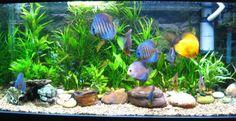 28 Modern Fish Tanks That Inspire Relaxation Diskus Aquarium, Aquarium Design, Planted Aquarium, Tropical Fish Tanks, Tropical Aquarium, Discus Fish, Betta Fish, Discus Tank, Fish Fish