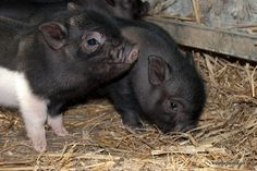 Lovely photograph of the stripy girl with one of the boy micro piglets