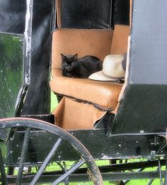 Amish black cat  This is so cool because you have a buggy and a horse and a CAT and it looks like the cat likes to go places!