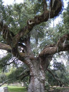Dueling Oak ~ City Park ~ New Orleans Louisiana