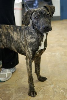 Richard is an adorable brindle mix that is about 6-7 months old.  For more information, visit Mt. Pleasant Animal Shelter at www.njshelter.org.