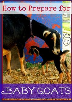 How to Prepare for Baby Goats l What to learn and do before your goats kid l Homestead Lady (.com) #homestead30