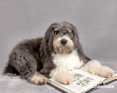 Dickens (Bearded Collie) - Dickens likes a good shaggy dog story..love Bearded Collies.