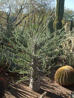 Boojum. Es un árbol que solo se encuentra en los desiertos del Sonora y Baja California. Su tronco ancho en la base es hueco y le sirve a las abejas como nido.
