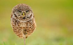 A photograph of a burrowing owl taken by wildlife enthusiast Hisham Atallah while visiting Cape Coral in the US.
