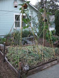 bamboo teepee trellis ideas yahoo image search results bamboo