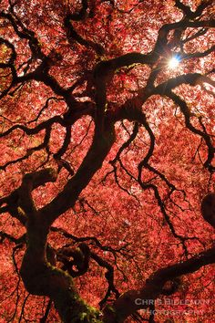 A sunburst is seen through the curved branches of a Japanese Maple in Spring with bright backlit red leaves as viewed from underneath tree in the Portland Japanese Garden Fine Art Photo, Photo Art, Portland Japanese Garden, Red Leaves, Japanese Maple, Happy Trails, See Through, Four Seasons, Mother Earth