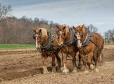 Closeup of Triple Draft Horse Teams at Old Fashioned Day