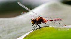 Insecte, Libellule Photos, Animals, Dragonfly Insect, Insects, Photography, Animales, Pictures, Animaux, Animal