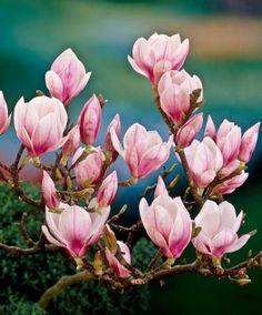 magnolien magnolienb ume and b ume on pinterest. Black Bedroom Furniture Sets. Home Design Ideas