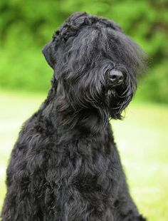 The Black Russian Terrier is a guard dog who is devoted to his family. Bred to be suspicious of strangers, he needs training to discriminate between situations that call for protective action and those that don't. Terrier Breeds, Terrier Dogs, Dog Breeds, Big Dogs, Cute Dogs, Dogs And Puppies, Hounds Of Love, Black Russian Terrier, Group Of Dogs