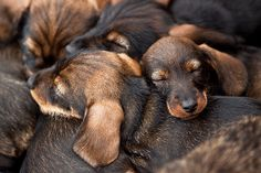 Sleeping wire haired dachshund puppies...I remember when Terra was this small!!