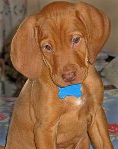 Vizsla puppy! I miss when my Anabelle and Kizzie were still this little!