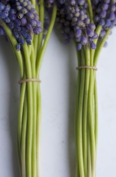 green stems on grape hyacinth