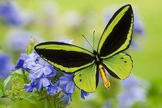 Birdwing Butterfly on Purple Flowers