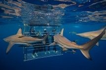 Shark Cage Diving, Shark Diving & Shark Tours - Shark Cage Diving KZN. See 5–20 sharks on a dive in the open sea – no diving experience required! Also shark viewing from a boat, talks on sharks conservation and shark nets. Sharks guaranteed or your money back.