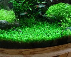 Marsilea Minuta, a Carpeting Plant for Freshwater Aquariums Links to a decent article about easy aquarium plants