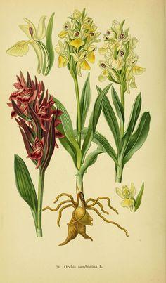 Abbildungen der in Deutschland und den angrenzenden gebieten vorkommenden grundformen der orchideenarten Berlin,R. Friedländer & sohn,1904. biodiversitylibrary.org/page/15349868