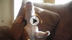 At 8 weeks old, Cooper the beagle discovered he has the ability to howl. In fact, he's pretty darn good at it! The moment his owner took out the video camera, he wouldn't stop showing it off! His owner tells …