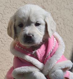 Beautiful English Cream Golden Retriever puppies!  PS  someone needs to take the pink coat off this baby (my pet peeve ... animals dressed as humans)