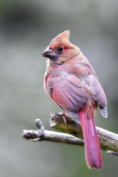 """Cardinal.   (""""Photo."""")"""
