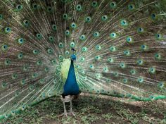 Pavo Real- Zoo Ave, Costa Rica