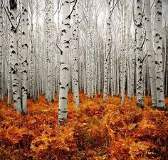 This Aspen Forest in Colorado