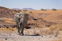 Desert Adapted Elephant Bull by MARJA SCHWARTZ on 500px
