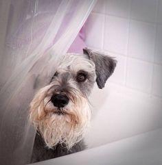 Mini Schnauzer bathing