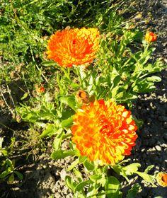 Souci, Calendula officinalis, ASTERACEES, Mai 2014, antiinflammatoire, antispasmodique, vulnéraire, cicatrisant Calendula, Mai, Gardens, Plant
