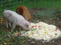 Learn the details of how we're restoring the pasture with pigs at Realeyes Homestead. In this interview, Levi explains the details about the fencing, cover crops, and big picture strategy. Take a look!