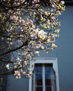 I found some more Magnolia  #hampstead #prettycitylondon #prettylittlelondon #tfispring #magnolia by catherine_frawley
