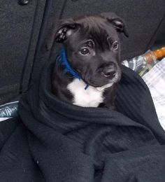 Staffy puppy in a blanket