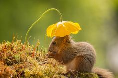 My garden has many flowers, and everyday red squirrels come to visit. I am almost always ready to take some shots of these wonderful animals.