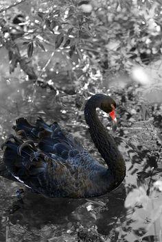 Black Swan by Bin.D, via Flickr...<3{Love Returning}{JosephRestored2meDaresay<3Meant2be<3}