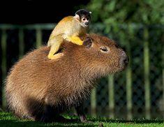 {Squirrel monkey & Capybara} I want to make a tiny cowboy hat for the monkey!