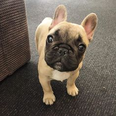 """Hewwo"", French Bulldog Puppy"