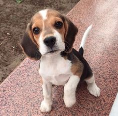 The rules for choosing a Beagle puppy largely coincide with the rules for choosing a puppy of any other breed, but there are a number of features. – Little beagle puppies are similar to. Beagle Puppy, New Puppy, Cute Dogs And Puppies, I Love Dogs, Doggies, Dressage, Cute Beagles, Cute Baby Animals, Dog Training