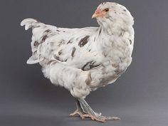 Ameraucana Kuluçka Tekniği bu cins tavukların erişkenliğe ulaşarak yumurtlaması 5,5 ila 6 ay dır. Ortalama olarak 150 – 160 yumurta yumurtlarlar yumurta rengi açık mavidir. Ameraucana tavuk cinsi diğer bir çok tür gibi yumurtlamaya başladı zaman ilk 15 gün için yumurtalar kuluçka için verimli değildir. 15 günden sonraki yumurtalar çıkım [...]