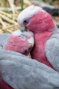 Galah Parrots (cockatoo).  Also known as the Rose-breasted Cockatoo, Galah Cockatoo, Roseate Cockatoo or Pink and Grey, is one of the most common and widespread cockatoos, and it can be found in open country in almost all parts of mainland Australia.